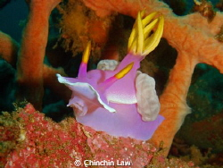 giant hypselodoris@lembeh straits by Chinchin Law